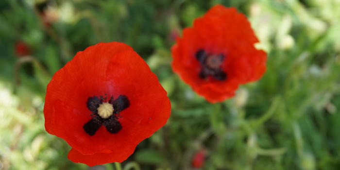 two red poppies in a garden